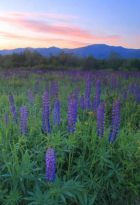 Photograph - Sugar Hill Lupines Sunrise by John Burk