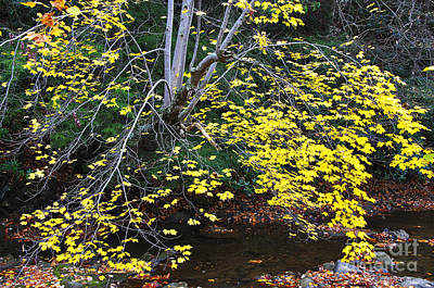 Chris Walter Rock N Roll - Sugar Maple Birch River by Thomas R Fletcher