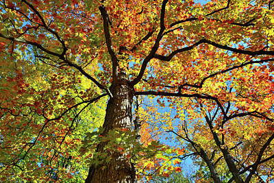 Photograph - Sugar Maple Canopy In Cook County by Ray Mathis