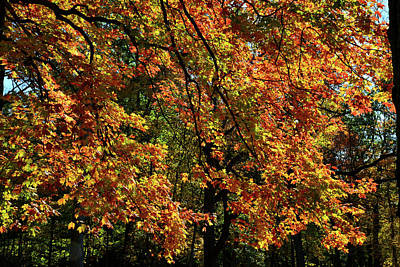 Photograph - Sugar Maple In Full Fall Color In Cook County by Ray Mathis