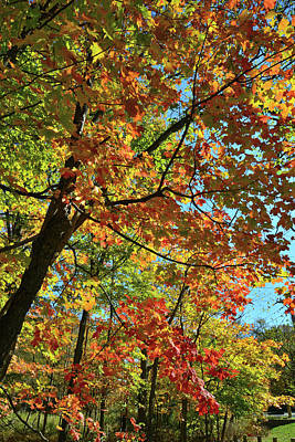 Photograph - Sugar Maple Shower Of Color by Ray Mathis