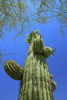 Photograph - Suguaro Cactus by Allen Beatty