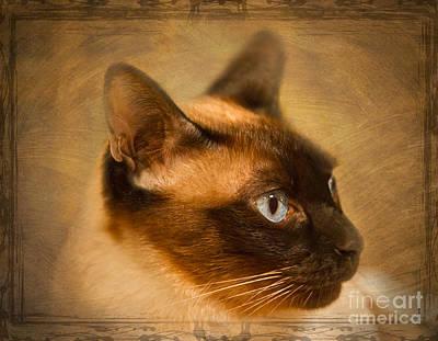 Suki A Beautiful Siamese Cat Art Print by Louise Heusinkveld