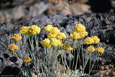 Photograph - Sulfur Buckwheat by Susan Herber