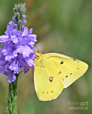 Photograph - Sulfur Butterfly by Kathy M Krause
