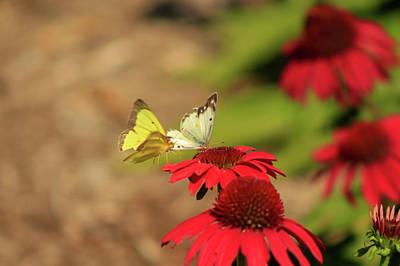 Butterlfy Photograph - Sulphur Butterflies by Charles Gough