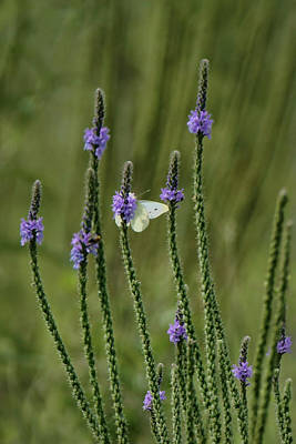Photograph - Sulphur Butterfly - Blue Vervain by Nikolyn McDonald