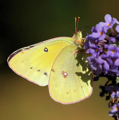 Photograph - Sulphur Butterfly by Doris Potter