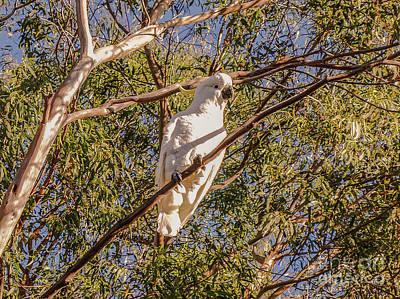 Photograph - Sulphur-crested Cockatoo #1 by Lexa Harpell