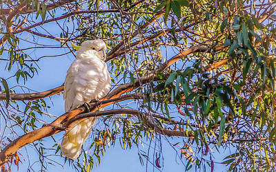 Photograph - Sulphur-crested Cockatoo #2 by Lexa Harpell
