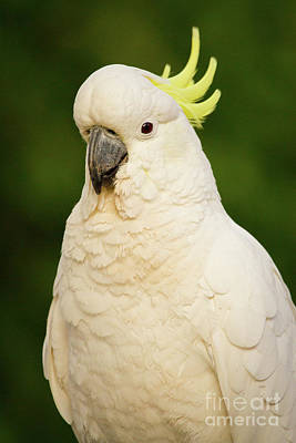 Photograph - Sulphur Crested Cockatoo by Craig Dingle