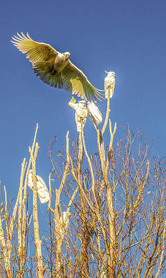 Photograph - Sulphur-crested Cockatoo In Flight by Lexa Harpell