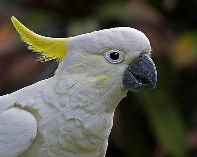 Cockatoo Photograph - Sulphur-crested Cockatoo by Larry Linton