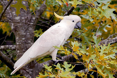 Photograph - Sulphur Crested Cockatoo by Nicholas Blackwell