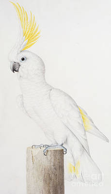 Parakeet Painting - Sulphur Crested Cockatoo by Nicolas Robert