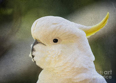 Sulphur Crested Cockatoo Art Print by Avalon Fine Art Photography