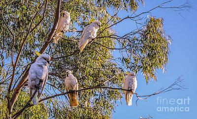 Photograph - Sulphur-crested Cockatoos #3 by Lexa Harpell