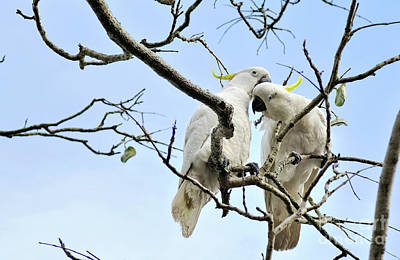 Cockatoo Photograph - Sulphur Crested Cockatoos by Kaye Menner