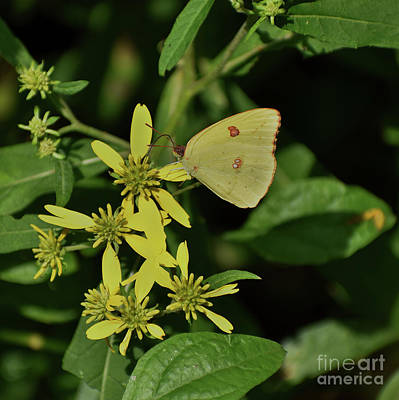 Photograph - Sulphur On Yellow by Skip Willits