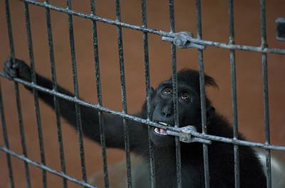 Genus Photograph - Suluawesi Crested Macaque Macaca Genus by Joel Sartore