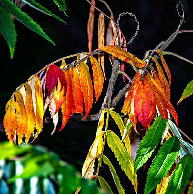 Sumac Tree Photograph - Sumac 2 by Steve Harrington