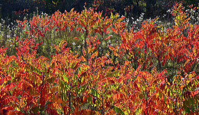 Photograph - Sumac Fall Color Along Wisconsin I-39 by Ray Mathis