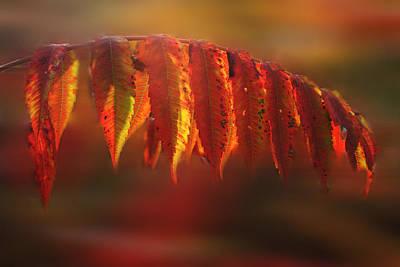 Photograph - Sumac Fall by Wayne King