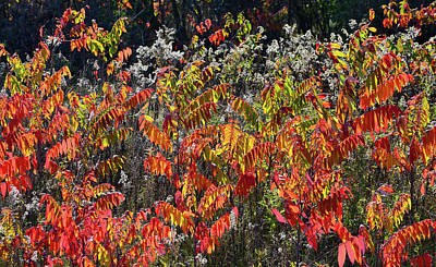 Photograph - Sumac Glowing In Evening Light In Wisconsin by Ray Mathis