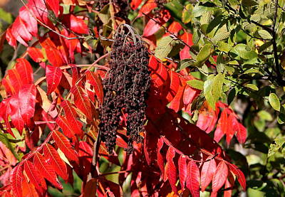 Photograph - Sumac In Fall by Sheila Brown