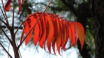 Photograph - Sumac In Fall by Tony Grider