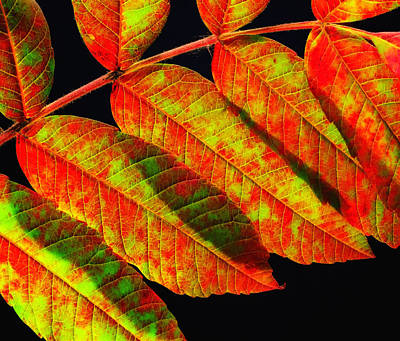 Photograph - Sumac Leaves by Peg Runyan