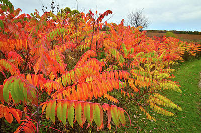 Photograph - Sumac Row In Severson Dells by Ray Mathis