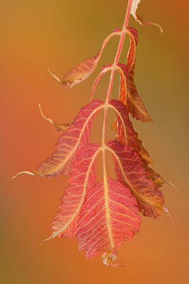 Digital Art - Sumac Twig by Ramona Murdock
