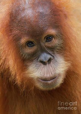 Sumatra Orangutan Juvenile Print by Jerry Fornarotto