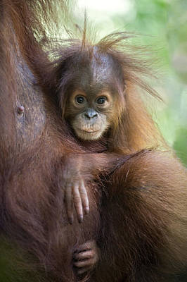 Sumatran Orangutan 9 Month Old Baby Art Print