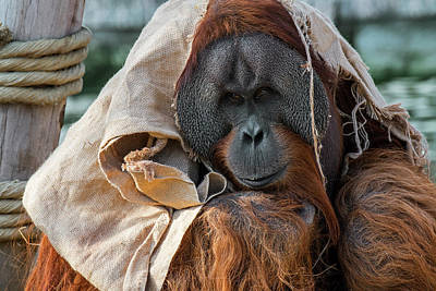Photograph - Sumatran Orangutan by Arterra Picture Library