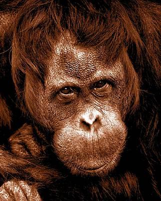 Orangutan Mixed Media - Sumatran Orangutan Female by The Griffin Passant Streetworks