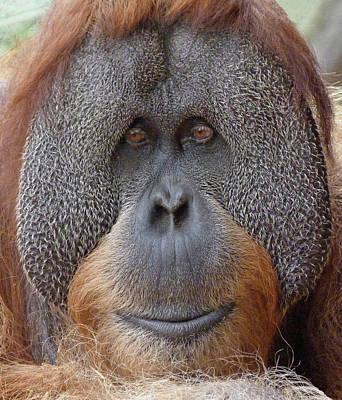 Photograph - Sumatran Orangutan Male by Margaret Saheed