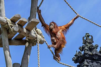 Photograph - Sumatran Orangutan With Baby by Arterra Picture Library
