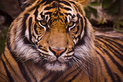 Close-up Photograph - Sumatran Tiger by Chad Davis