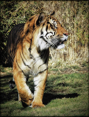 Photograph - Sumatran Tiger  by Elaine Malott