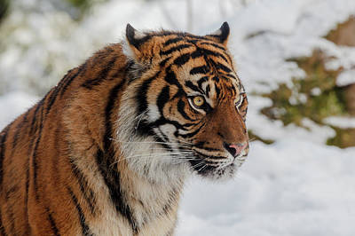 Sumatran Tiger In The Snow Art Print