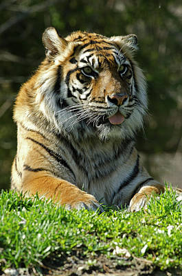 Photograph - Sumatran Tiger by JT Lewis