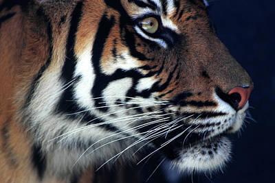 Photograph - Sumatran Tiger -  Jumilah by Miroslava Jurcik