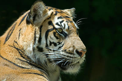 Vintage Signs - Sumatran Tiger by Mary Lane