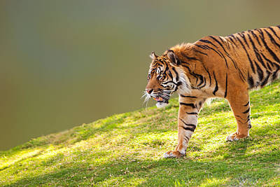 Sumatra Photograph - Sumatran Tiger On Hill Closeup by Susan Schmitz