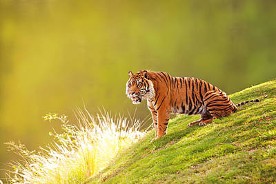 Sumatra Photograph - Sumatran Tiger On Hillside In Morning Light by Susan Schmitz