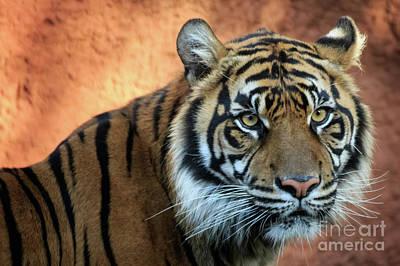 Photograph - Sumatran Tiger Portrait #1 by Richard Smith