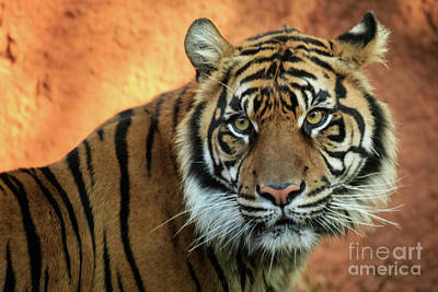 Photograph - Sumatran Tiger Portrait #2 by Richard Smith