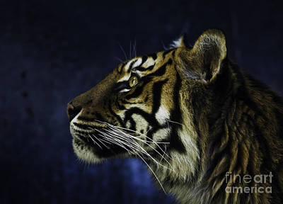 Gold Pattern Rights Managed Images - Sumatran tiger profile Royalty-Free Image by Sheila Smart Fine Art Photography